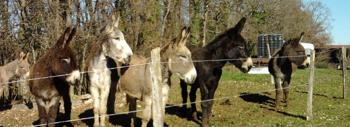 troupeau d'ânes
